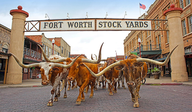 Fort Worth Herd Cattle Drive