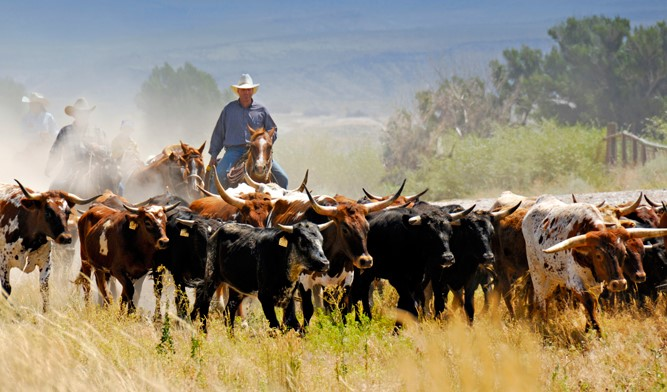 Texas Longhorn Breeders Association of America